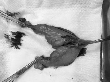 うさぎの避妊手術の画像