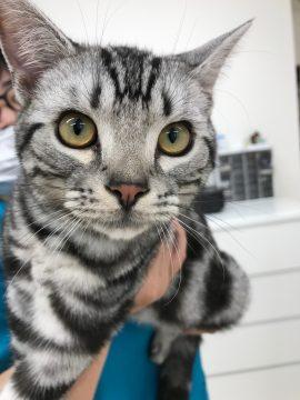 アメショの子猫ちゃんの画像