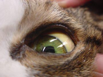 猫の肝外胆管閉塞(EHBO)の画像